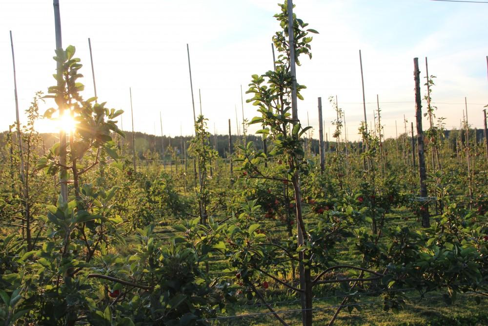 sol-i-odlingen